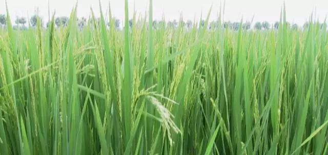 兄弟,干了这碗龙虾饭!40亩稻田,一年能挣20多万!