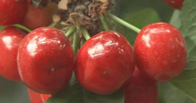 什么樱桃甜度高、个头大,上市还最早?
