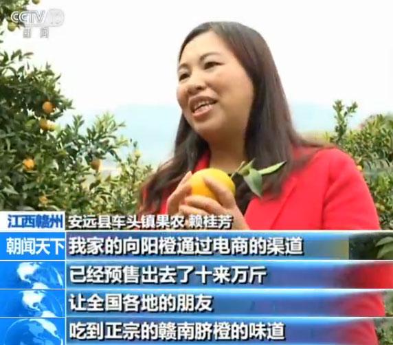江西赣州 脐橙大丰收 果实挂枝头