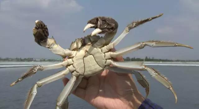 """大闸蟹,这么大的蟹,这才叫""""大""""闸蟹!"""