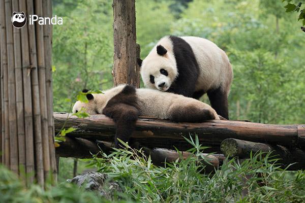 """大熊猫""""冰冰""""和""""青青"""""""