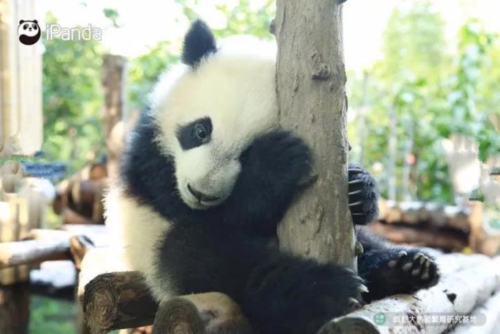 白鹤亮翅熊猫动态图