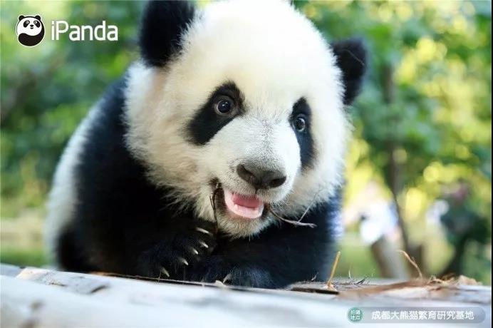 白鹤亮翅熊猫gif