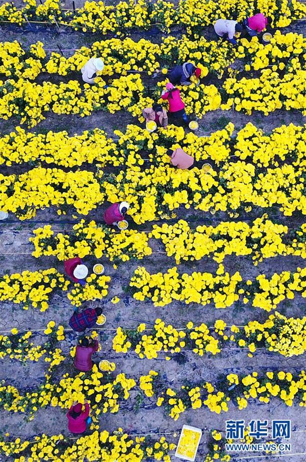 11月12日,江苏淮安白马湖畔,当地农民在采摘菊花。近日,江苏淮安白马湖畔的千余亩菊花迎来丰收,百余名当地农民连日在此进行采摘,场面壮观。据悉,这千余亩菊花所在的白马湖中草药养生产业园,是淮安目前最大的菊花种植基地,也是当地政府着力打造的集花卉种植、药材加工、旅游观光等功能于一体的现代农业科技园区。新华社记者 李响 摄