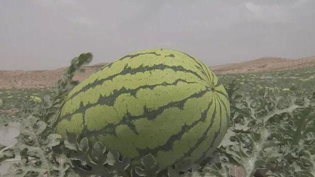 从石头缝里长出来的西瓜,您见过吗?宁夏枸杞又为何如此神奇?