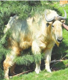 国宝羚牛。(图片均为记者 袁景智摄)
