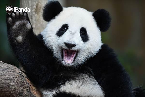 """大熊猫""""暖暖""""(资料图)"""