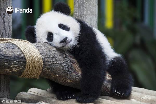 """大熊猫""""暖暖""""在木架上休息"""