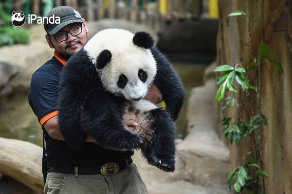 """大熊猫""""暖暖""""被饲养员公主抱"""