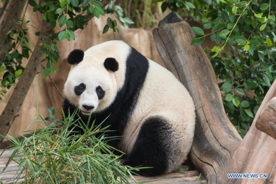 the Chinese giant panda Hu Chun