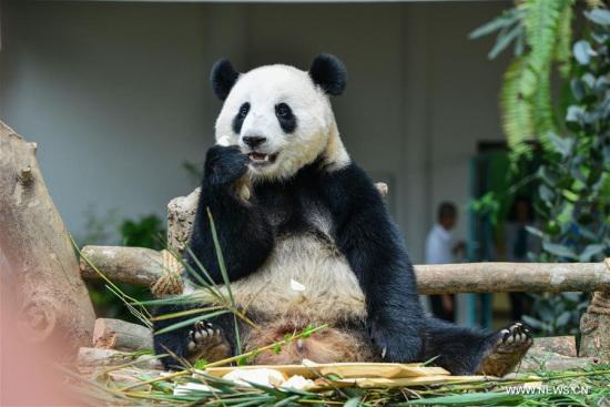 Giant panda Nuan Nuan eats