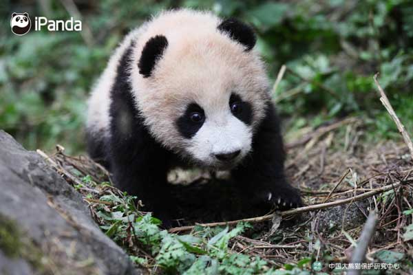 """大熊猫""""八喜"""""""