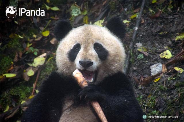 """大熊猫""""映雪""""在适应圈舍外吃竹子"""
