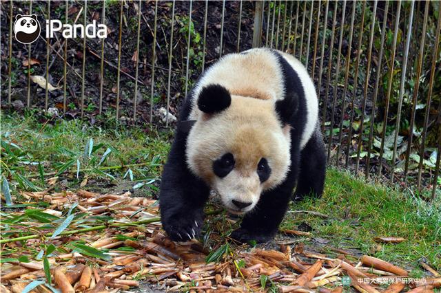 """大熊猫""""八喜""""在适应圈舍内活动"""