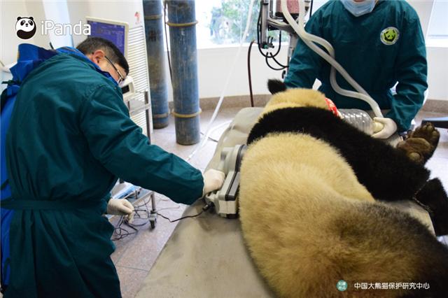 """工作人员用仪器检测大熊猫""""八喜""""的芯片,确认其身份。"""
