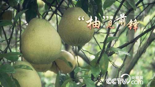 """乡土节目看点:""""柚""""见前锋 11月29日"""