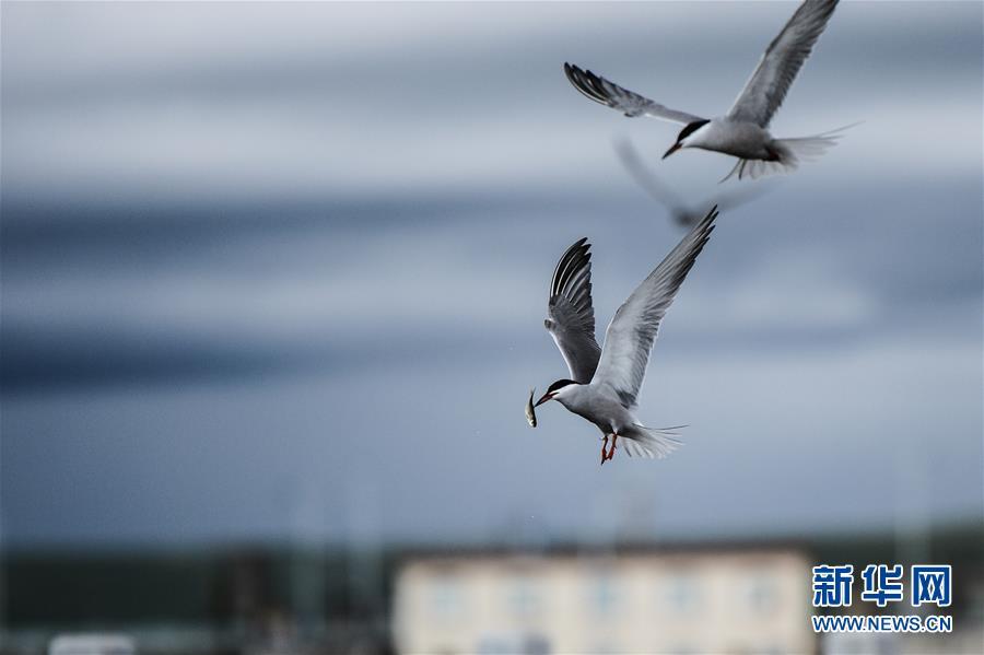 在中国最大内陆咸水湖――青海湖,一只水鸟捕捉到湟鱼后飞离水面(2015年6月24日摄)。