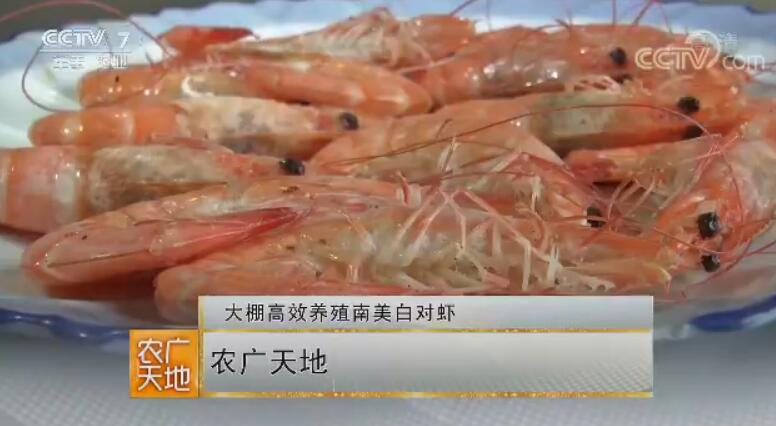 [农广天地]大棚高效养殖南美白对虾技术