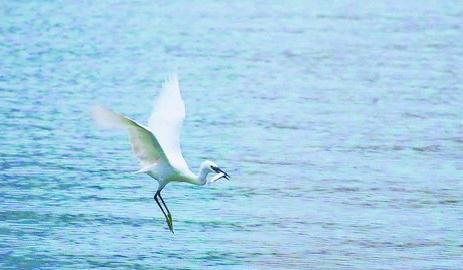 筼筜湖捕鱼的白鹭