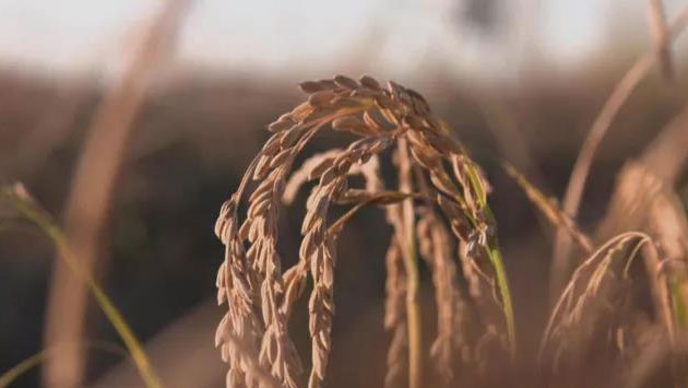 沙漠变水田丨稻花香里说治沙