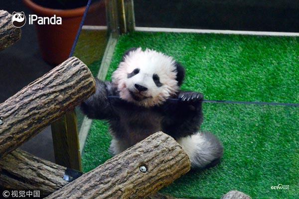 """熊猫宝宝""""圆梦""""首次公开亮相"""