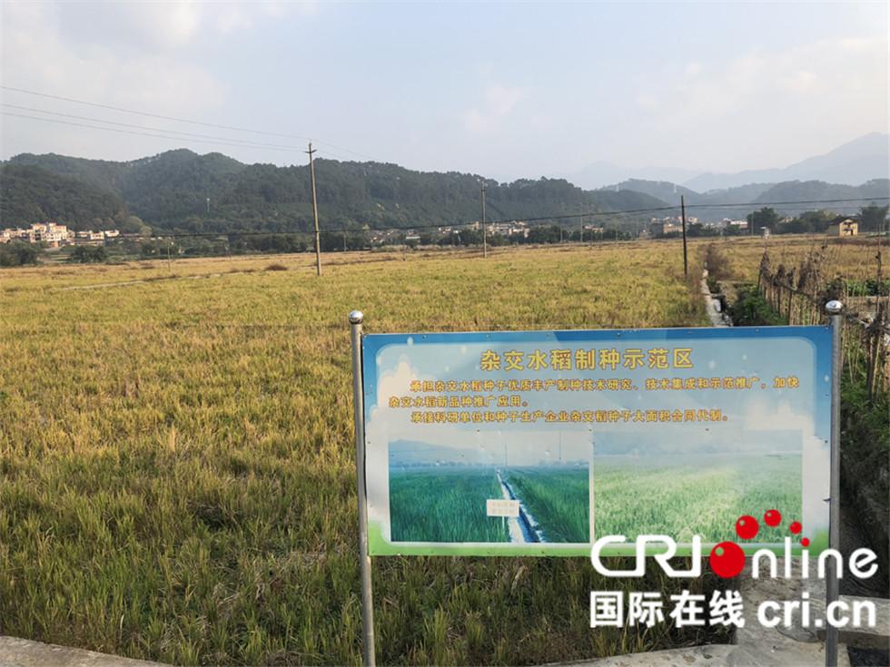 杂交水稻制种示范区