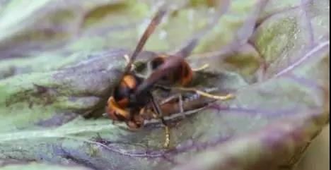 把杀人蜂引进菜园,他就赚大了!