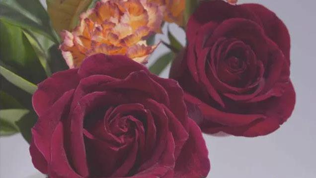 玫瑰还有真假之分?人参猪有何独特之处?