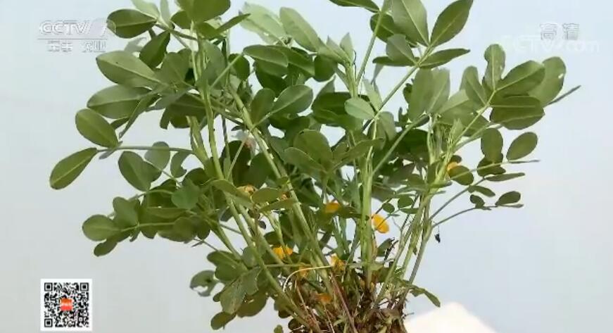 同样是花生,为什么种夏花生比春花生收入高;都是施肥料,为什么氮肥过多,产量反倒更低;花生要增产,水要怎么浇才科学?