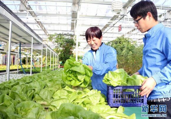 12月12日,无棣县水湾镇山东鑫嘉源现代农业科普示范馆员工孟风芹(左)在采摘成熟的水培蔬菜。