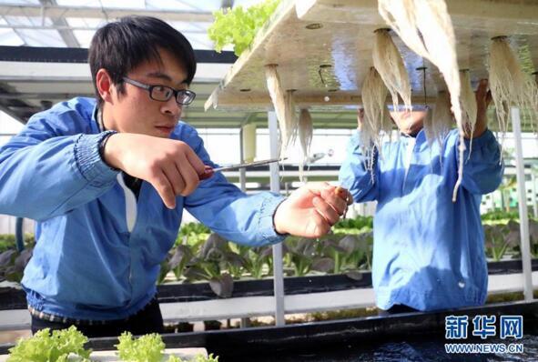 12月12日,无棣县水湾镇山东鑫嘉源现代农业科普示范馆员工在清理水培蔬菜根系。