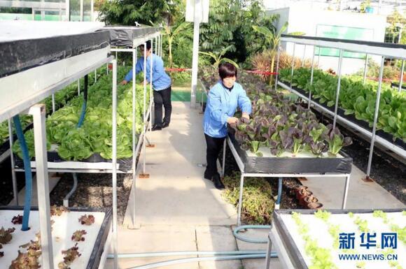 12月12日,无棣县水湾镇山东鑫嘉源现代农业科普示范馆员工在管理采用水培技术种植的蔬菜。