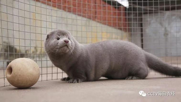 水貂原本就属于极寒性的动物,虽然看上去比较弱小,但由于它身上