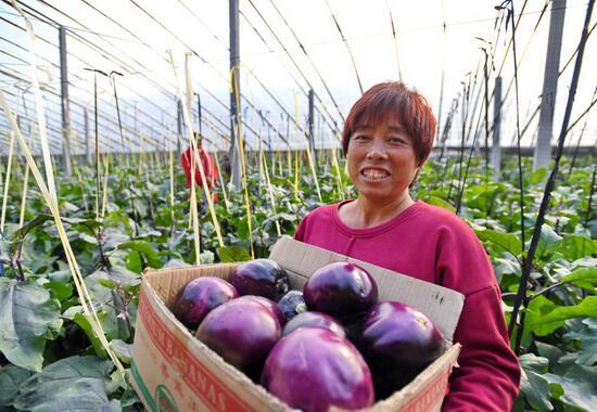 河北省泊头市四营乡灌河村农民在运送刚刚采摘的茄子。
