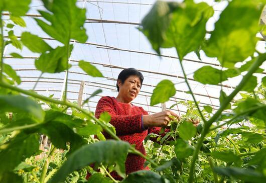 河北省泊头市四营乡灌河村农民在大棚内打理种植的西红柿。