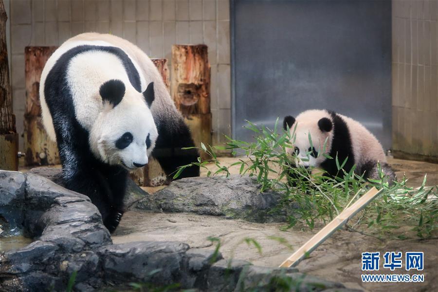 """大熊猫幼崽""""香香""""(右)与它的妈妈""""仙女""""(日本名字""""真真"""")一起散步"""