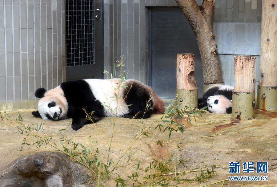 """大熊猫幼崽""""香香""""(右)与它的妈妈""""仙女""""(日本名字""""真真"""")一起午休"""