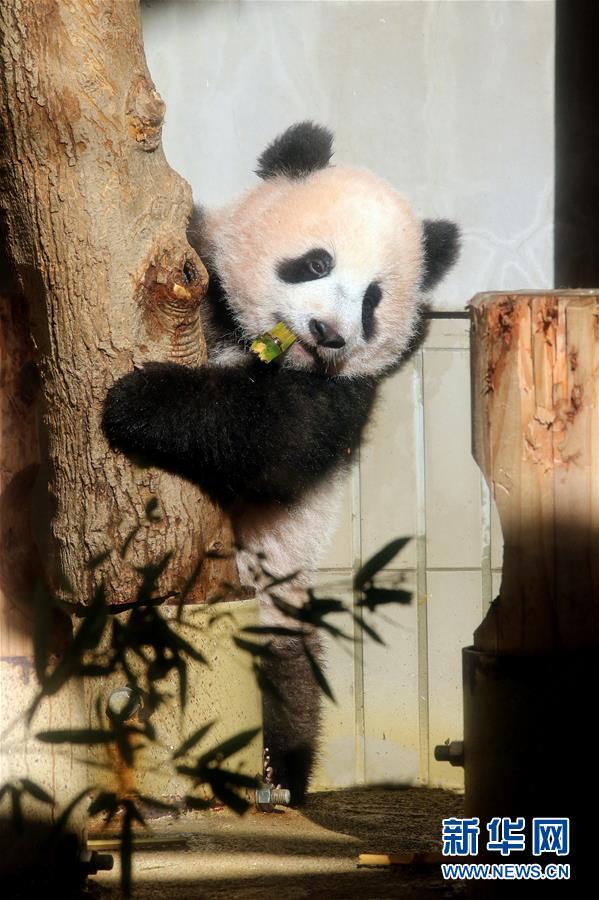 """大熊猫幼崽""""香香""""趴在树桩上玩耍"""