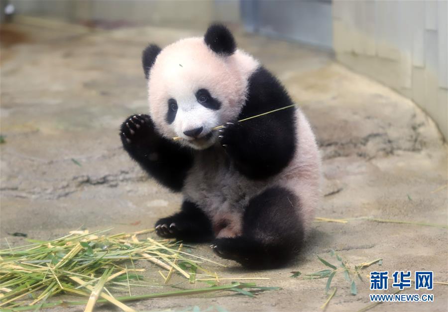 """大熊猫幼崽""""香香"""""""