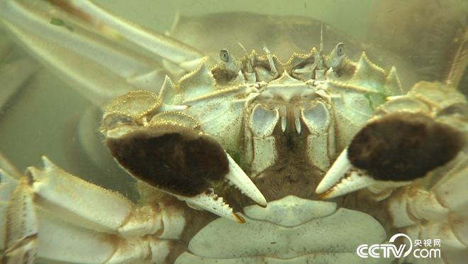 """""""魔咒""""泉里有螃蟹 3个月要捞2000万"""