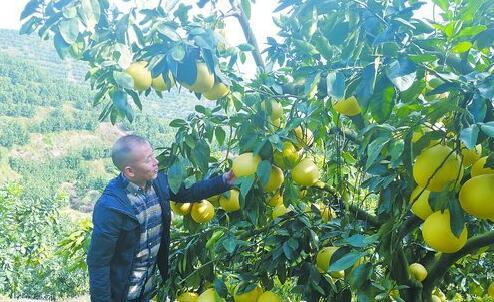 张德富在平和的柚子园里调研。(受访者供图)