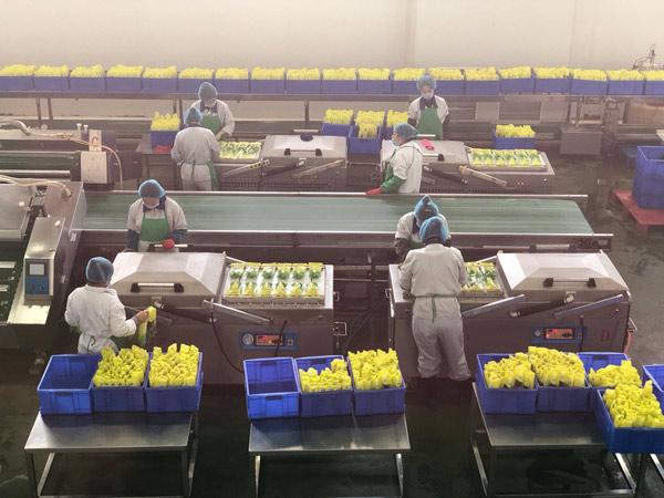 ↑在吉林省农嫂食品有限公司的无菌生产车间里,工人们正在给经过高温杀菌和筛检的鲜食玉米装袋、封口。大部分工人都是周边将土地流转的农民。