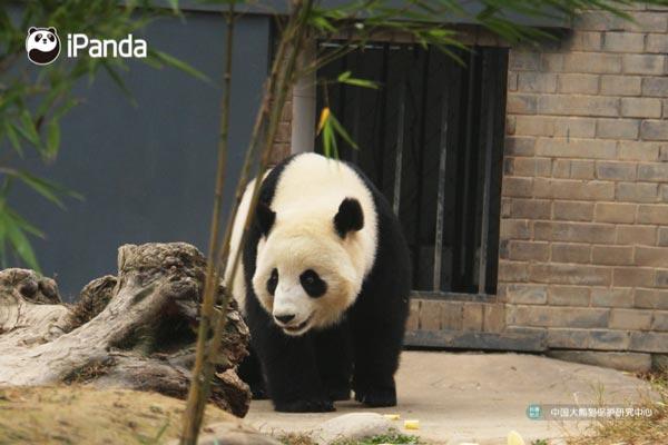 """大熊猫""""暖暖""""正式与公众见面"""