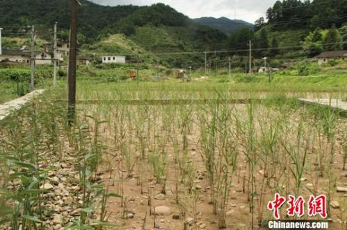 资料图:江西寻乌县三标乡建设的湿地生态修复工程。