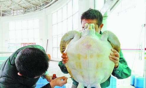 驯养员给海龟上药
