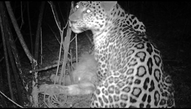 ↑华北豹进食画面很清晰,吃的是一头农户散养的小牛犊