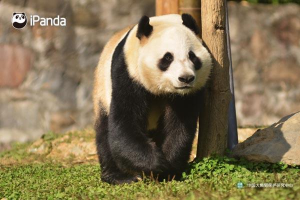 """大熊猫""""华豹""""(资料图)"""