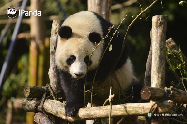 """大熊猫""""金宝宝""""(资料图)"""