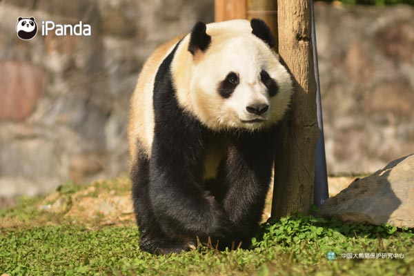 Panda Hua Bao (File photo)
