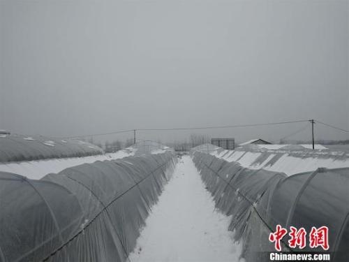 资料图:湖北红安县,持续低温雨雪天气易造成蔬菜等农作物受冻或生长缓慢。 孙勇 摄